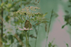 Zeitlupe brauner Schmetterling